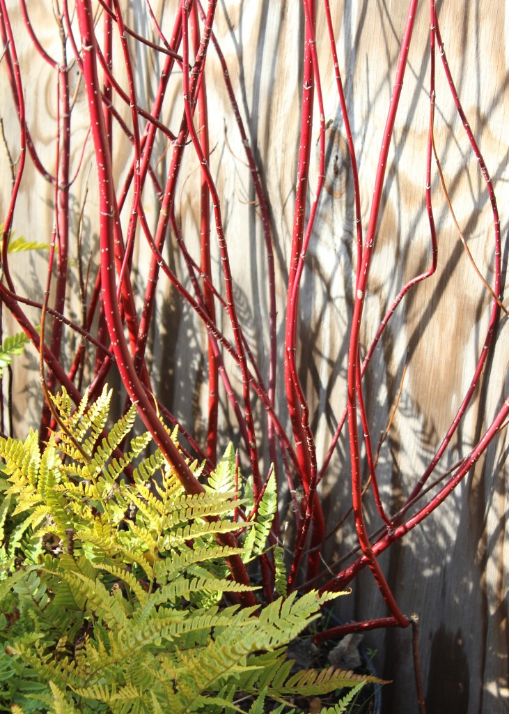 Plants we love red twig dogwood west winds nursery for Red twig dogwood