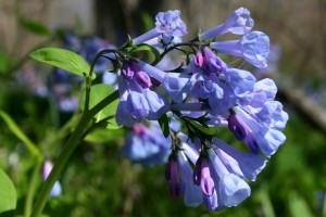 virginia bluebell detail