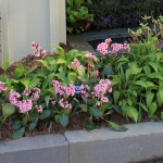 Bergenia - Bressingham Ruby, Dragonfly