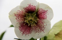 Hellebore Festival at Pine Knot Farms