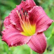 Plants We Love – Daylily