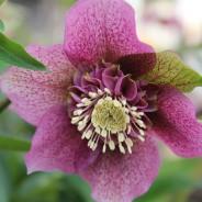 Plants We Love – Lenten Rose