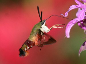 Humingbird Moth Image