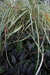 Evergold Grass And Ajuga