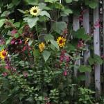 Salvia and Sunflower