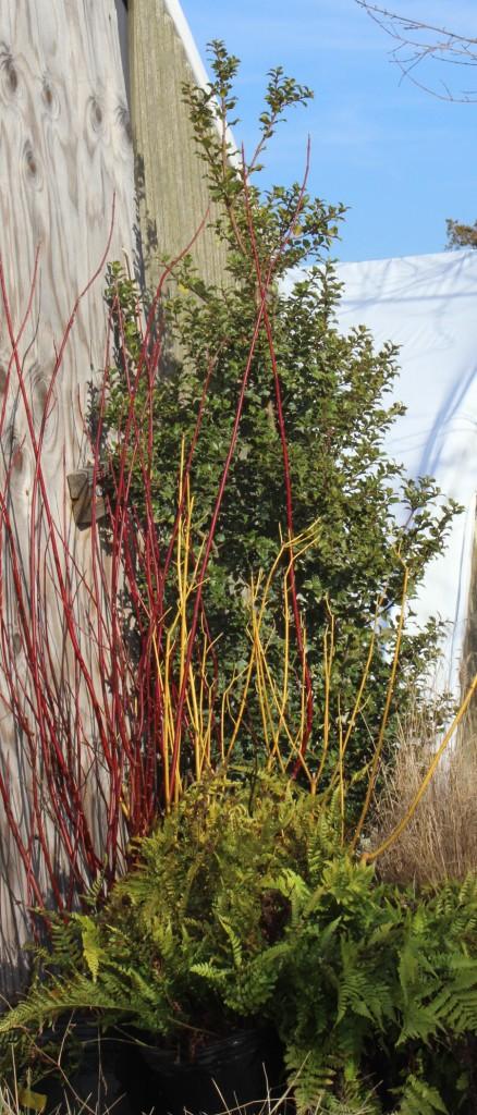 Twig dogwoods pic 1
