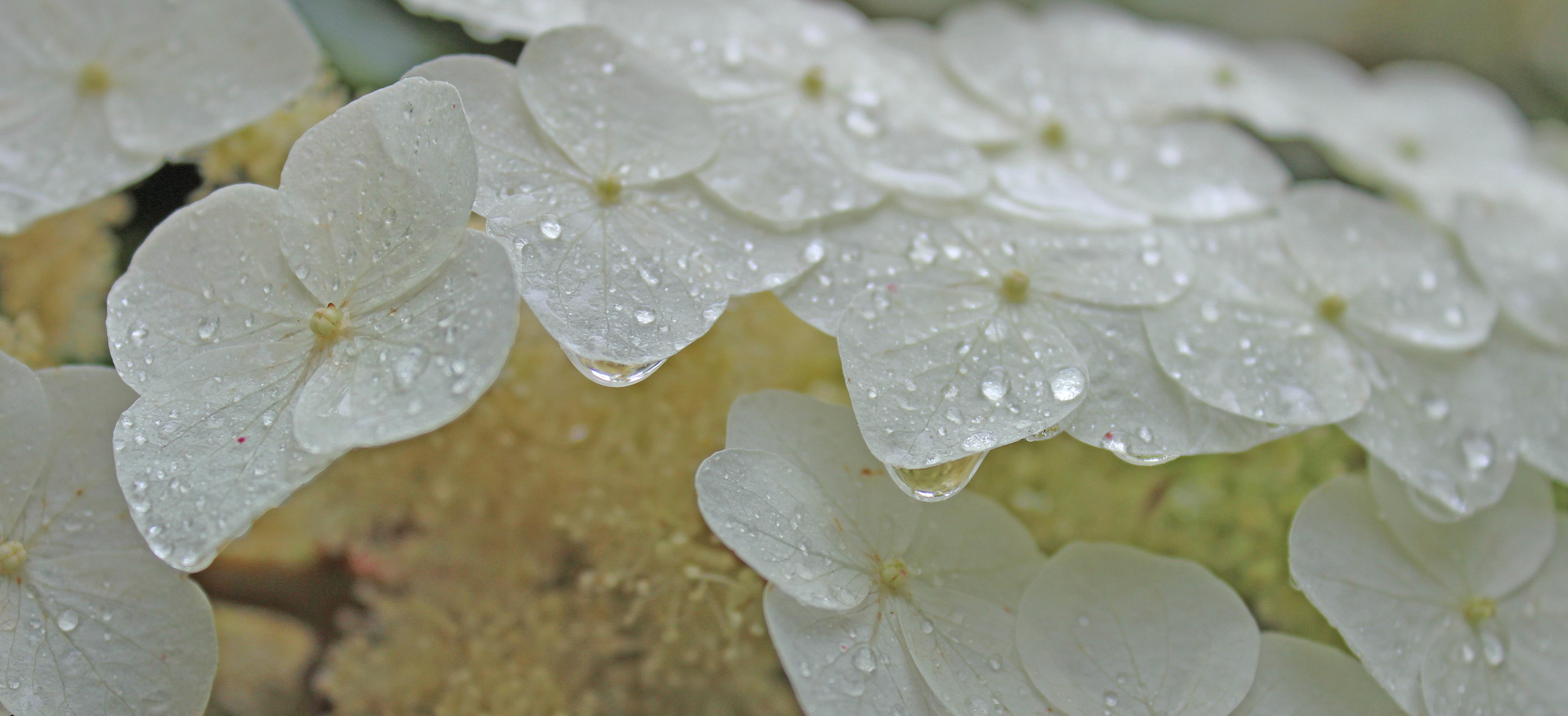 Oakleaf Hydrangea flower detail