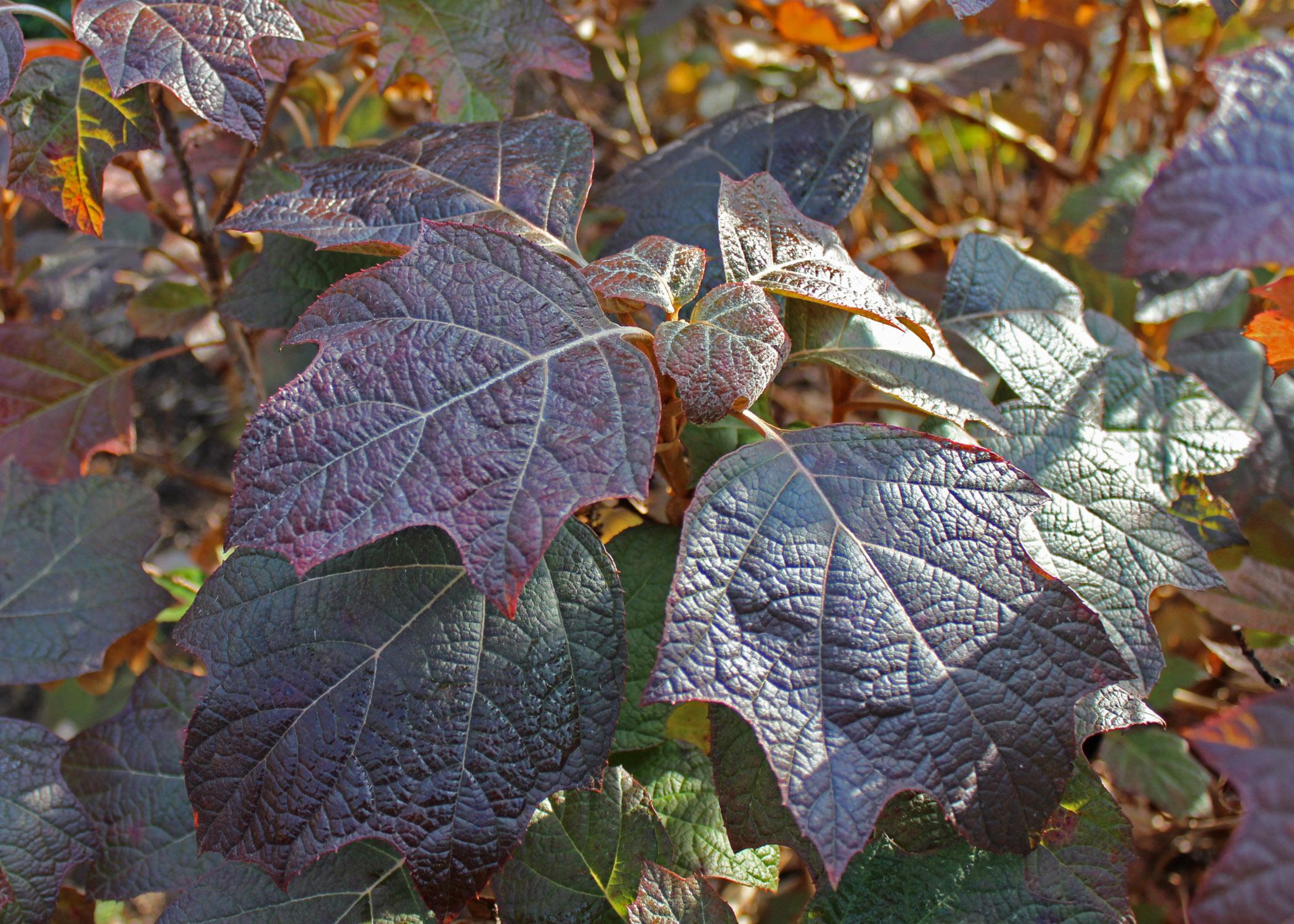 Oakleaf hydrangea fall foliage