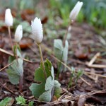 Blood root closer