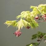 Fern Leaf Maple