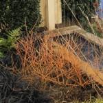 Red Twig Doogwood