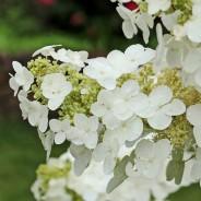 Plants We Love – Oakleaf Hydrangea