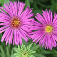 Plants We Love – Asters