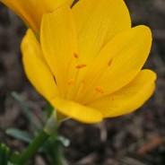 Fall Flowering Bulbs
