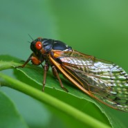 Cicada Damage? Here's What to Do Next